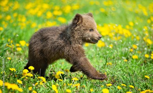 Fotografie, Obraz Cute little brown bear cub playing on a lawn among dandelions
