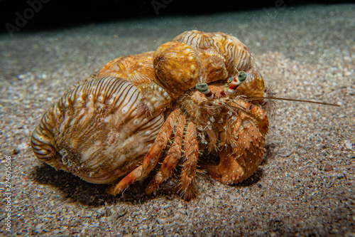 Anemone Carrier Hermit Crab in the Red Sea Colorful and beautiful, Eilat Israel Fototapeta