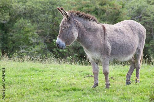 Canvas-taulu grey donkey