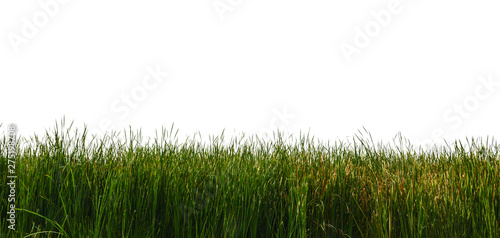 Stampa su Tela Large tall grass on a white background