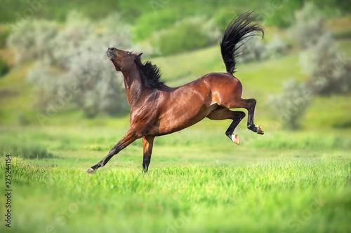 Obraz na plátne Bay horse in motion on on green grass