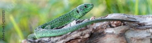Fotografia Green beautiful lizard sitting on a fallen tree