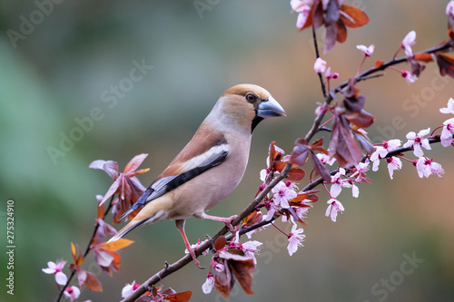 Canvastavla Hawfinch on a branch in the forest in Noord Brabant in the south of the Netherla