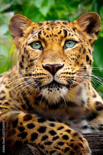 Stampa su Tela This close up portrait of an endangered Amur Leopard was shot at a local zoo in a light overcast condition at an after hours event