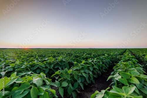 Fototapeta Agricultural soy plantation on twilight