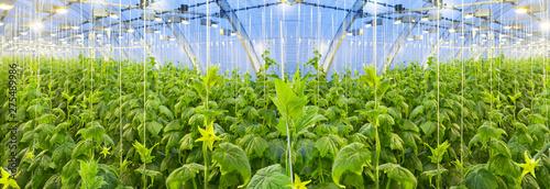 Fotografiet Growing cucumbers in a big greenhouse