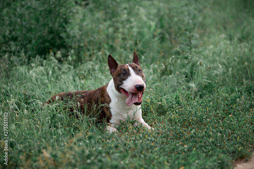 Foto Beautiful dog breed bull terrier walks on green nature