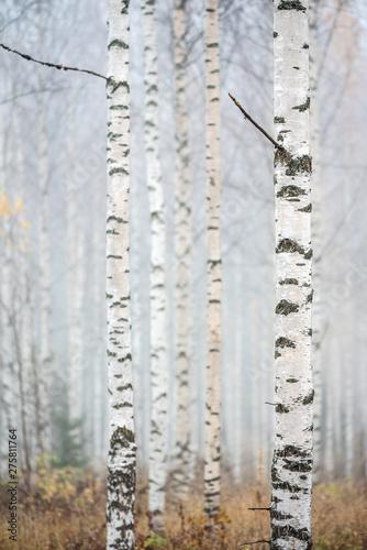 Birch forest in fog. Autumn view. Focus in foreground tree trunk. Fototapeta