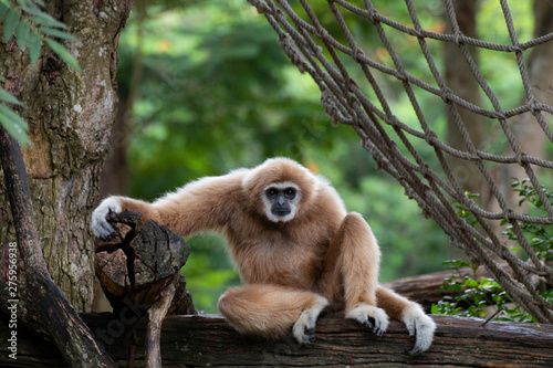 Canvas Print white-handed gibbon sitting alone on the timber.