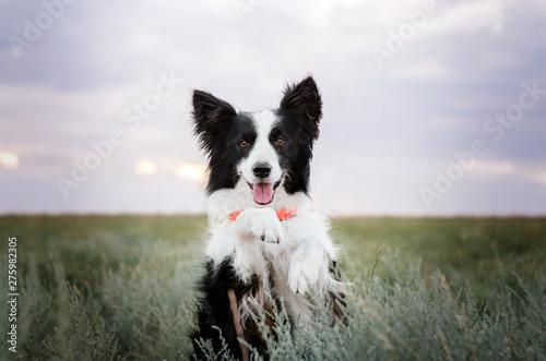 Fotografia, Obraz border collie dog cute funny portrait at sunset in magical lights