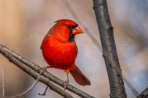 red cardinal in park Fotobehang