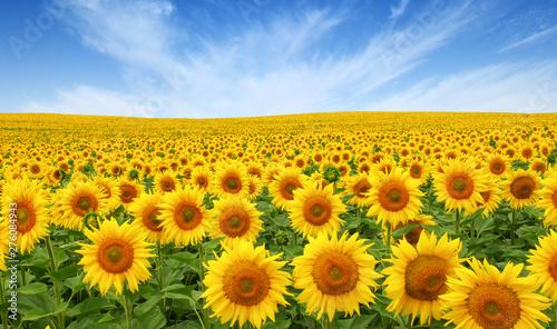 Fotografia Sunflowers field on sky