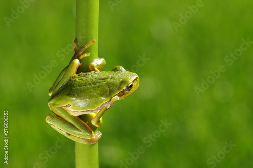 Canvas-taulu Frog on green background