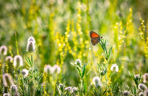 Obraz na płótnie butterfly on wild flower meadow