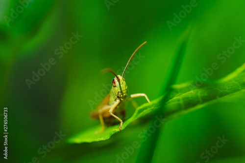 Tablou Canvas Macro photo of green grasshopper on grass in summer