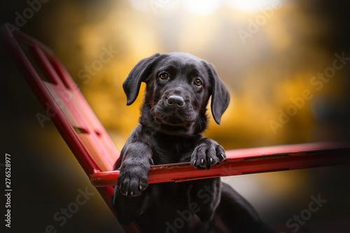 Canvas Print chien labrador croisé sur chaise