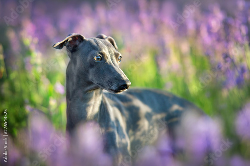 Canvas Print Italian greyhound in flowers