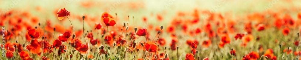 Panorama of  Red Poppy Field, selective focus - obrazy, fototapety, plakaty