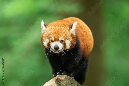 Fotografia Red panda in the forest
