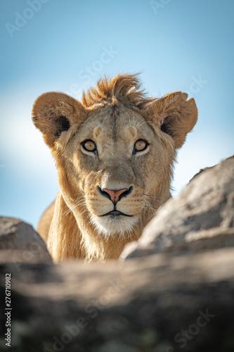 Młody męski lew ogląda kamerę nad skałami