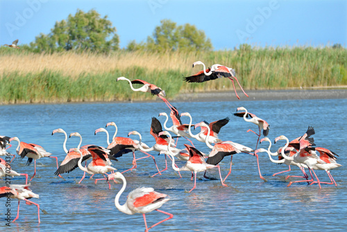 Tableau sur Toile Flamingos running on water (Phoenicopterus ruber) after flying, in the Camargue