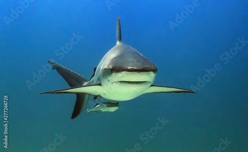 Photo Portrait of a reef shark