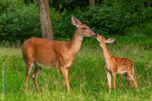 Photo Mother and baby deer kissing
