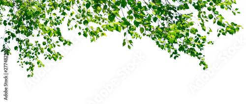 Obraz na płótnie Birch twigs with the young lush green leaves hang down isolated on white