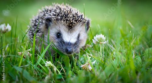Fotografiet Cute hedgehog on a green grass