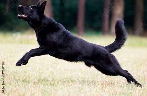 Slika na platnu dog black german shepherd jumping on the grass