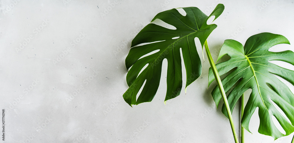 Real Tropical jungle Monstera leaves on grey concrete background. Flat lay, top view. Wide banner with copy space.