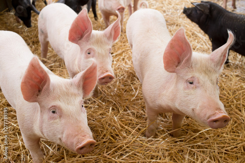 Canvas Print Three piglets little pink pigs with raised ears looking at same direction and st