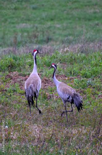 Crane pair walking