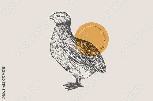 Fotografia Retro engraving quail