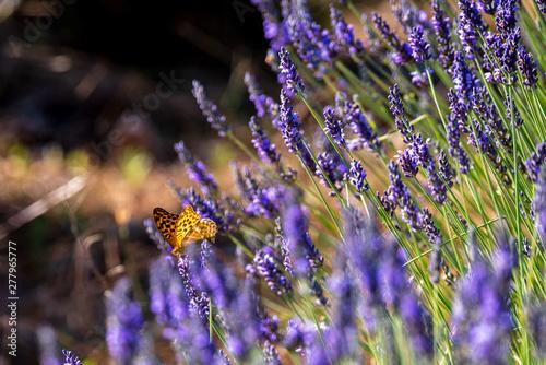 Fototapeta premium Motyle 19