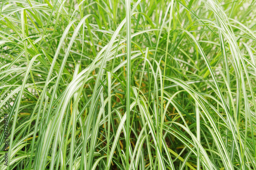 striped leaves of an east asian sedge Fototapeta