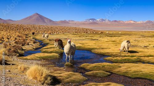 Fotografie, Obraz Lama standing in a beautiful South American altiplano landscape