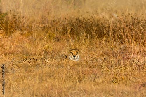 Obraz na plátne single cheetah hiding in grass