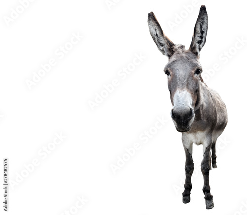 Canvas Print Donkey full length isolated on white