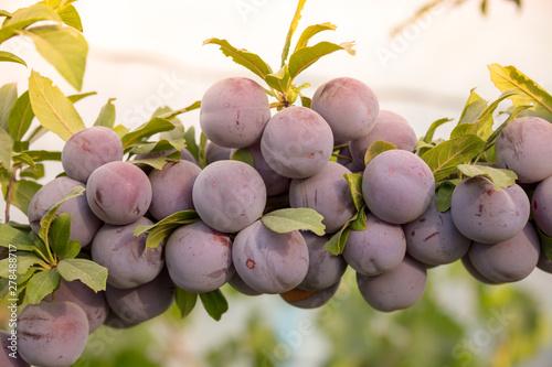 Fotografiet Plum tree with juicy fruits on sunset light