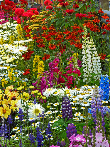 A colourful flower border with Lysimachia, Lupins, Heleniums and Leucanthemums
