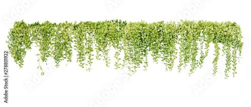 Photo Green succulent leaves hanging vines ivy bush climbing epiphytic plant (Dischidia sp
