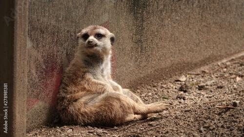 Obraz na płótnie A captive meerkat sits in a dirty enclosure looking desperate and unhappy