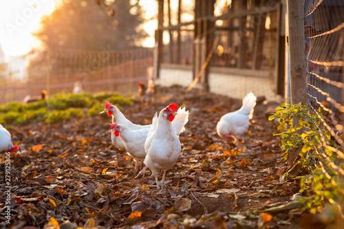 Hen in a farmyard (Gallus gallus domesticus) Fototapet