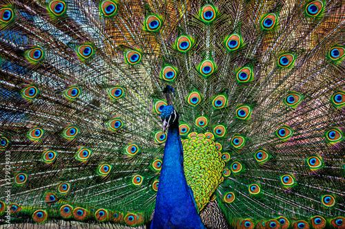 Wallpaper Mural beautiful peacock