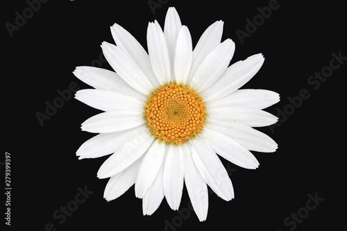 White and yellow daisy isolated with black background Fototapet