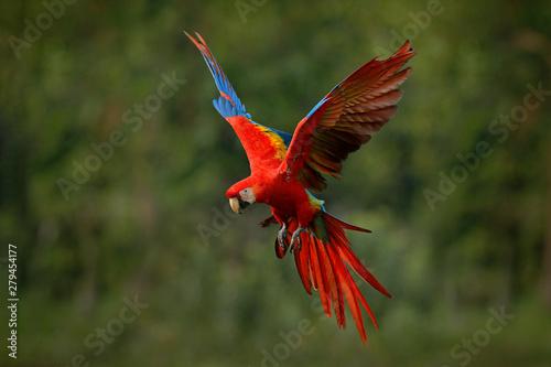 Obraz na płótnie Macaw parrot flying in dark green vegetation with beautiful back light and rain