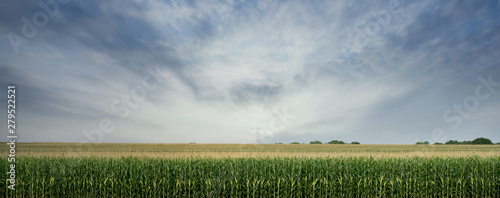 Canvas Print Corn Field ready to be Harvested