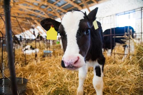 Cuadros en Lienzo Calf in the cowshed