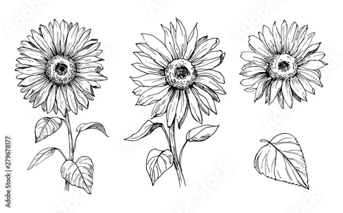 Fotografie, Obraz Sketch of sunflower. Hand drawn outline converted to vector.
